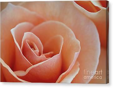 Sahara Light Tan Cream Rose Canvas Print by David Zanzinger