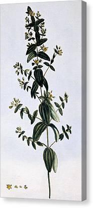 Saint John's Wort Canvas Print by Pierre-Joseph Buchoz