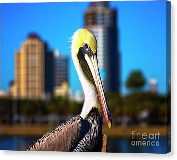 Saint Petersburg Pelican Canvas Print