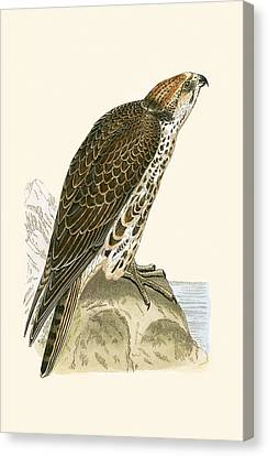 Saker Falcon Canvas Print by English School