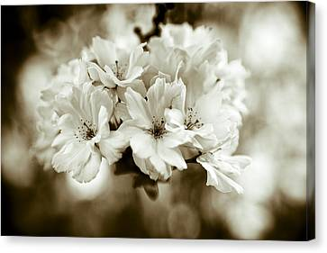 Brown Tones Canvas Print - Sakura by Frank Tschakert