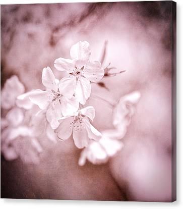 Cherry Blossoms Canvas Print - Sakura II by Jon Woodhams