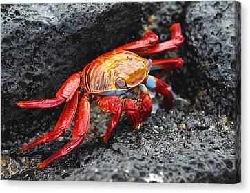 Sally Lightfoot Crab Canvas Print by Alan Lenk