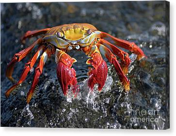 Sally Lightfoot Crab In Water Canvas Print by Sami Sarkis