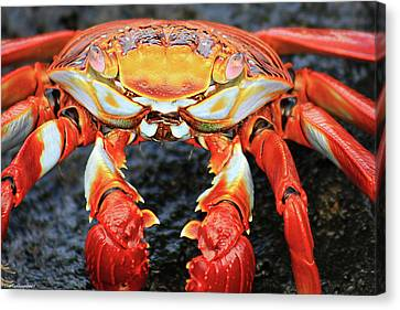 Sally Lightfoot Crab Canvas Print by Sue Cullumber