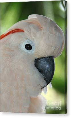 Salmon Crested Moluccan Cockatoo Canvas Print by Sharon Mau