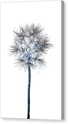 Salsify Seed Head Canvas Print by Gareth Davies