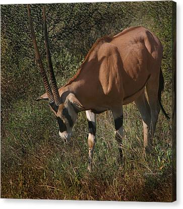 Samburu Oryx Canvas Print by Joseph G Holland