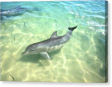 Canvas Print featuring the photograph Samu 1 , Monkey Mia, Shark Bay by Dave Catley