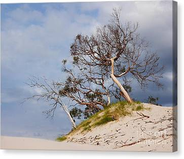 Sand Dune With Bent Trees Canvas Print by Lexa Harpell