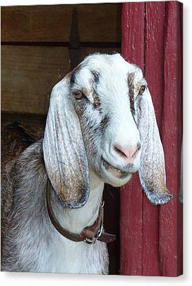 Canvas Print featuring the photograph Sandburg Goat by Sarah Crumpler