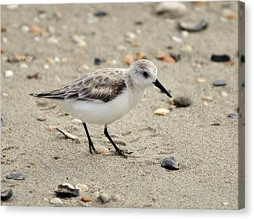 Sanderling Canvas Print by Al Powell Photography USA