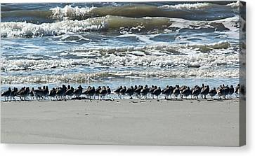 Sanderling Line Up Canvas Print by Rosanne Jordan