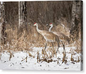 Canvas Print featuring the photograph Sandhill Crane 2016-4 by Thomas Young