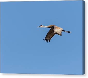 Canvas Print featuring the photograph Sandhill Crane 2017-1 by Thomas Young