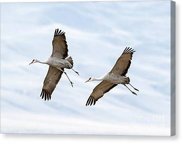 Sandhill Crane Approach Canvas Print by Mike Dawson