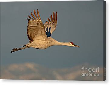 Sandhill Crane Flying Above The Mountains Of New Mexico Canvas Print by Max Allen