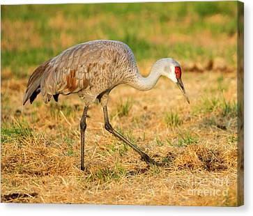 Sandhill Crane Grazing Canvas Print by Mike Dawson
