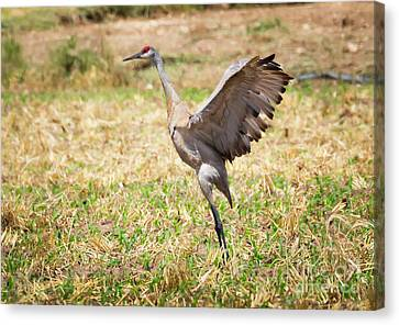 Canvas Print featuring the photograph Sandhill Crane Morning Stretch by Ricky L Jones