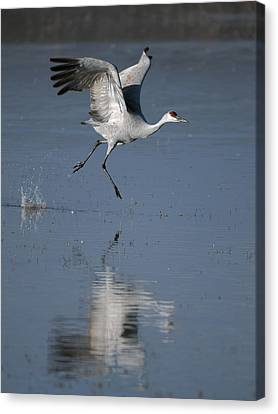 Sandhill Crane Running On Water Canvas Print by Gary Langley