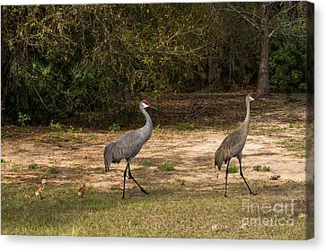 Crane Canvas Print - Sandhill Cranes And Their Chicks  by Zina Stromberg