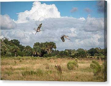 Sandhill Cranes Fly Canvas Print by Scott Mullin