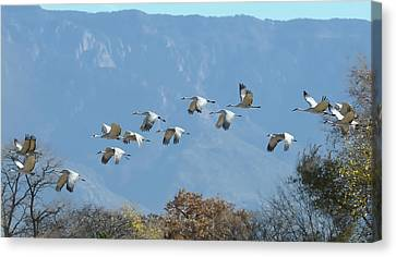 Sandhill Cranes In Flight Canvas Print