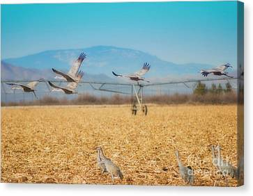 Sandhill Cranes In Flight Canvas Print by Donna Greene