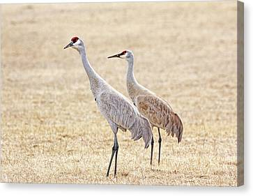 Canvas Print featuring the photograph Sandhill Cranes Of Montana by Jennie Marie Schell