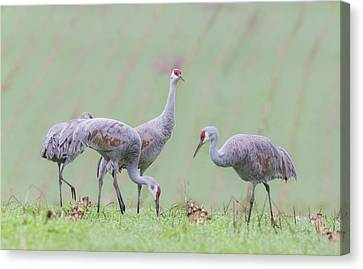 Canvas Print featuring the photograph Sandhill Cranes Of Ridgefield by Angie Vogel