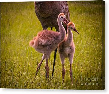 Sandhill Cranes Playing Canvas Print by Zina Stromberg