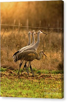 Canvas Print featuring the photograph Sandhill Cranes Texas Fence-line by Robert Frederick