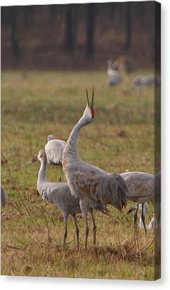 Canvas Print featuring the photograph Sandhill Delight by Shari Jardina