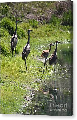Sandhill Family By The Pond Canvas Print by Carol Groenen