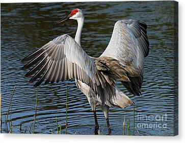 Sandhill Crane Wingstretch Canvas Print