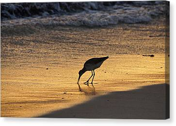 Sandpiper In Evening Canvas Print by Sandy Keeton