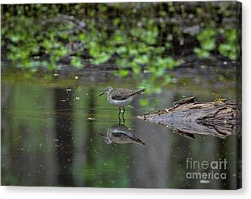 Canvas Print featuring the photograph Sandpiper In The Smokies II by Douglas Stucky
