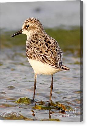 Sandpiper Portrait Canvas Print by Robert Frederick