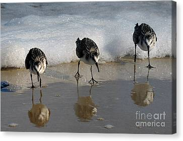 Sandpipers Feeding Canvas Print by Dan Friend
