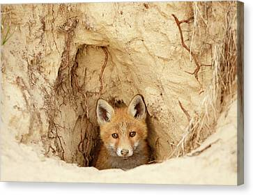 Sandy Nose - Red Fox Kit Coming Out Of Its Den Canvas Print