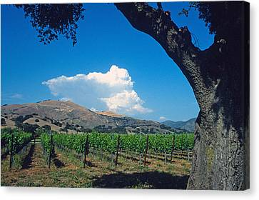Santa Ynez Vineyard View Canvas Print by Kathy Yates