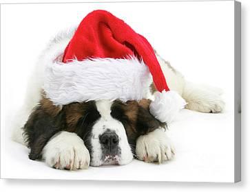 Santa's Snoozing Saint Bernard Canvas Print