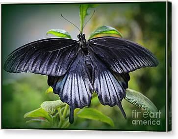 Sapphire Blue Swallowtail Butterfly Canvas Print
