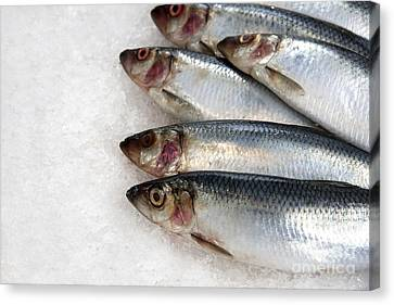 Sardines On Ice Canvas Print by Jane Rix