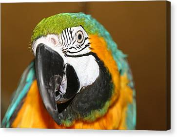 Canvas Print featuring the photograph Sassy Blue And Gold Macaw by Diane Merkle