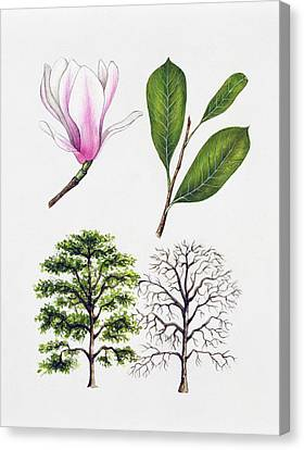 Saucer Magnolia Canvas Print by Unknown