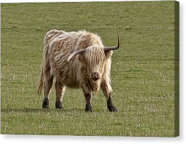 Sauvie Island Cow Canvas Print