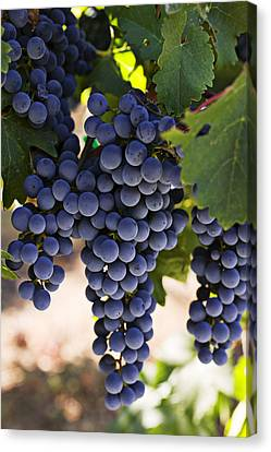Wine Canvas Print - Sauvignon Grapes by Garry Gay