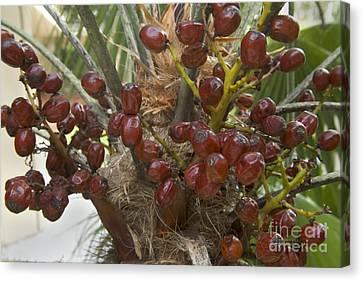Saw Palmetto Berries Canvas Print
