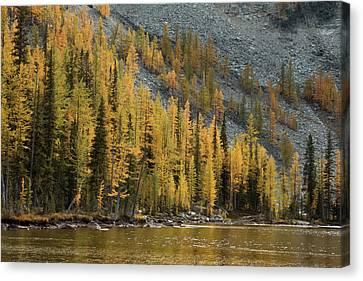 Lake Chelan Canvas Print - Sawtooth Larches by Ryan McGinnis